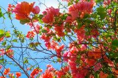 Υπόβαθρο των ανθίζοντας ρόδινων λουλουδιών μπροστά από το μπλε ουρανό στο Μπαλί στοκ εικόνες