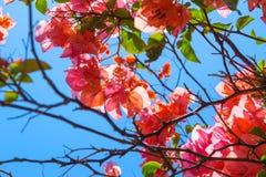 Υπόβαθρο των ανθίζοντας ρόδινων λουλουδιών μπροστά από το μπλε ουρανό στο Μπαλί στοκ φωτογραφίες