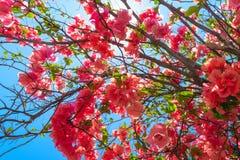 Υπόβαθρο των ανθίζοντας ρόδινων λουλουδιών μπροστά από το μπλε ουρανό στο Μπαλί στοκ εικόνα με δικαίωμα ελεύθερης χρήσης