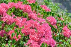 Υπόβαθρο των ανθίζοντας ρόδινων λουλουδιών στο Μπαλί στοκ εικόνα με δικαίωμα ελεύθερης χρήσης