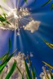 Ωριμάζοντας σίτος στον ήλιο στοκ εικόνες