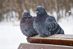 Πάγωμα δύο αστικό περιστεριών κατά τη διάρκεια χιονοπτώσεων, που κάθονται στους ξύλινους φραγμούς Πουλιά το χειμώνα στοκ εικόνες με δικαίωμα ελεύθερης χρήσης