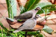 Πένθος πιαμένη συνεδρίαση ζευγών περιστεριών στο λουτρό πουλιών στοκ εικόνα