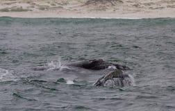 Πίσω μιας νότιας σωστής φάλαινας που κολυμπά κοντά στο Hermanus, δυτικό ακρωτήριο διάσημα βουνά kanonkop της Αφρικής κοντά στο γρ στοκ φωτογραφία