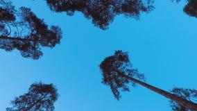 Παλαιά pinery δέντρων πεύκων ταλάντευση στον αέρα ενάντια στον ουρανό βραδιού Κορμοί των δέντρων που ταλαντεύονται, συρισμός του  απόθεμα βίντεο