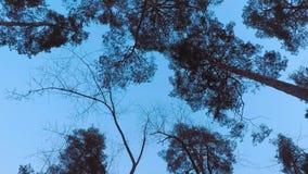 Παλαιά pinery δέντρων πεύκων ταλάντευση στον αέρα ενάντια στον ουρανό βραδιού Κορμοί των δέντρων που ταλαντεύονται, συρισμός του  φιλμ μικρού μήκους