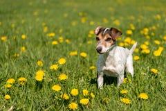 Παλαιό σκυλί 10 τεριέ του Jack Russell χρονών που στέκεται σε ένα πράσινο λιβάδι άνοιξη στοκ φωτογραφίες