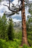 Παλαιό mossy αγριόπευκο στο δάσος στην κορυφογραμμή των βουνών Altai στοκ φωτογραφία με δικαίωμα ελεύθερης χρήσης