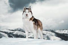 Πανέμορφο σιβηρικό γεροδεμένο σκυλί που στέκεται πάνω από το βουνό δίπλα στον απότομο βράχο στοκ φωτογραφία