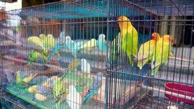 Παπαγάλοι Lovebirds στο κύτταρο Ζωηρόχρωμα πουλιά στην αγορά κατοικίδιων ζώων απόθεμα βίντεο