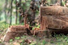 Περιορίζοντας τα δέντρα στην άγρια πρώτη θέση στη μείωση του επιπέδου οξυγόνου και της περιβαλλοντικής γεωργίας οικολογίας στοκ εικόνες
