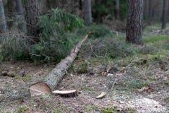 Περιορίστε το κωνοφόρο δέντρο Κορμός και κούτσουρο ενός δέντρου στοκ εικόνες με δικαίωμα ελεύθερης χρήσης