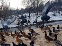 Περιστέρια στο φυσικό βιότοπό τους στο υπόβαθρο του ποταμού στο χιόνι στοκ φωτογραφίες