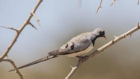 Περιστέρι Namaqua στην κλίση κλάδων στοκ εικόνες