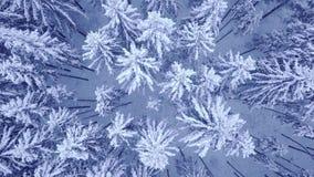 Περιστροφή καμερών επάνω από treetops των χιονωδών νέων δέντρων πεύκων στο όμορφο μπλε χειμερινό δάσος χωρίς το εναέριο βίντεο αν απόθεμα βίντεο