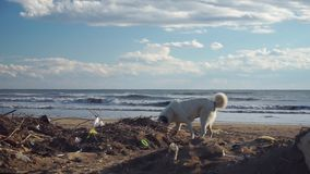 Περιπλανώμενων σκυλιών μέσω του σωρού απορριμάτων στην παραλία κοντά στη θάλασσα απόθεμα βίντεο