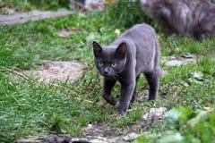 Περπάτημα της γάτας στην πράσινη χλόη στοκ φωτογραφίες