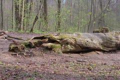 πεσμένο δασικό δέντρο στοκ φωτογραφία