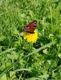 """Πεταλούδα """" Inachis io""""  στα ξύλα στοκ φωτογραφία"""