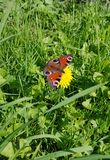"""Πεταλούδα """" Inachis io""""  πτήση στα ξύλα στοκ εικόνες"""