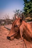 Πλάγια όψη μιας αγελάδας στοκ εικόνες