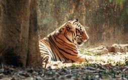 Πλάγια όψη μιας στήριξης του Τίγρη στοκ φωτογραφίες με δικαίωμα ελεύθερης χρήσης