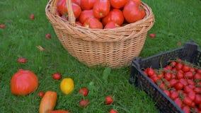 Πλήρη κιβώτιο και καλάθι με τις ώριμες ντομάτες στο χορτοτάπητα του αγροκτήματος eco απόθεμα βίντεο