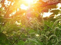 Πολλές επανθίσεις στην κορυφή των Amaranthus viridis είναι μαλακές, μακρύς, κατσαρωμένος στο δέντρο με τον ήλιο βραδιού που λάμπε στοκ φωτογραφία