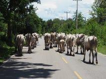 Πολύς περίπατος αγελάδων στο δρόμο, φωτογραφίες από την πίσω γωνία στοκ εικόνα με δικαίωμα ελεύθερης χρήσης
