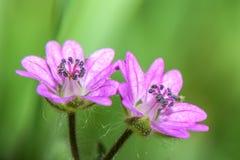 Πολύ μικρό ρόδινο λουλούδι - γεράνι μικρός-ανθισμένος ο pusillum γερανός-Μπιλ στοκ εικόνες