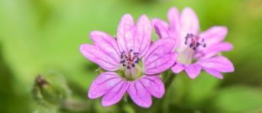 Πολύ μικρό ρόδινο λουλούδι σε ένα πράσινο υπόβαθρο - μικρός-ανθισμένων pusillum γερανών γερανιών στοκ φωτογραφία με δικαίωμα ελεύθερης χρήσης