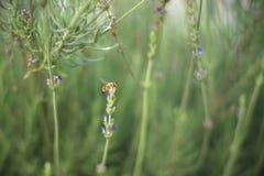 Πολυάσχολη μέλισσα που συλλέγει Lavender στα ξημερώματα στοκ εικόνες με δικαίωμα ελεύθερης χρήσης