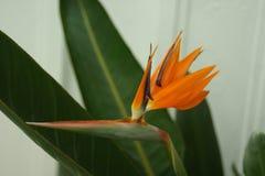 Πορτοκαλί πουλί στοκ φωτογραφίες με δικαίωμα ελεύθερης χρήσης