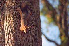 Πορτρέτο ενός κόκκινου σκιούρου στο υπόβαθρο ενός κορμού δέντρων στοκ φωτογραφία με δικαίωμα ελεύθερης χρήσης