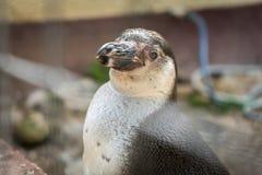 Πορτρέτο ενός penguin στοκ φωτογραφία με δικαίωμα ελεύθερης χρήσης