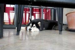 Πορτρέτο της σιβηρικής γεροδεμένης εξέτασης τη κάμερα στο πάτωμα στοκ φωτογραφία