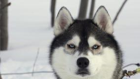 Πορτρέτο των σκυλιών της γεροδεμένης φυλής πριν από τον ανταγωνισμό χειμερινού αθλητισμού - αγώνας skijor απόθεμα βίντεο