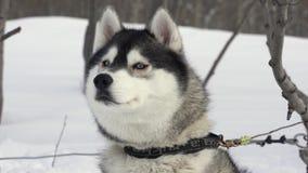 Πορτρέτο των σκυλιών της γεροδεμένης φυλής πριν από τον ανταγωνισμό χειμερινού αθλητισμού - αγώνας σκυλιών ελκήθρων απόθεμα βίντεο