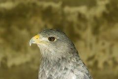 Πορτρέτο πουλιών ενός αρπακτικού ζώου στοκ φωτογραφίες με δικαίωμα ελεύθερης χρήσης