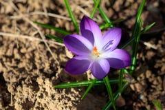 Πορφυρό λουλούδι κρόκων άνοιξη στο σκοτεινό υπόβαθρο στοκ εικόνα με δικαίωμα ελεύθερης χρήσης