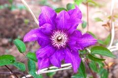 Πορφυρό λουλούδι Clematis στον κήπο Η εκλεκτική εστίαση, κλείνει επάνω στοκ φωτογραφίες