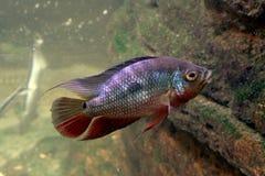 Πράσινα και κόκκινα ψάρια στοκ φωτογραφίες με δικαίωμα ελεύθερης χρήσης
