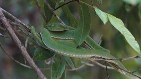 Πράσινη οχιά κοιλωμάτων Vogeli φιλμ μικρού μήκους
