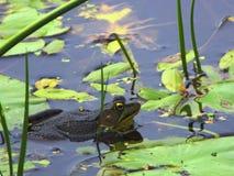 Πράσινος βάτραχος κοντά στα μαξιλάρια κρίνων στοκ φωτογραφία