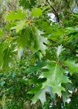πράσινος βγάζει φύλλα τη βαλανιδιά στο δέντρο στοκ φωτογραφίες