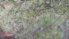 Πράσινος τραχύς κλάδος πεύκων άνοιξη με τις σταγόνες βροχής φιλμ μικρού μήκους