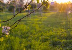 Πράσινο ξέφωτο στο ηλιοβασίλεμα που πλαισιώνεται από τα ροδαλά λουλούδια ενός δέντρου μηλιάς στοκ εικόνα με δικαίωμα ελεύθερης χρήσης