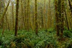 Πράσινο δάσος της Misty με τις φτέρες που καλύπτουν το έδαφος στοκ εικόνα