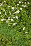 Πράσινο υπόβαθρο με τις άσπρες μαργαρίτες για τη διακόσμηση στοκ φωτογραφία
