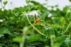 Πράσινο υπόβαθρο χρώματος Hornet κίτρινο στοκ εικόνα